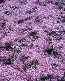 Pink spring blossoms on ground
