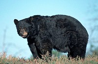 Black, Bear, Grand, Teton, national, park, Wyoming, USA, Ursus, americanus