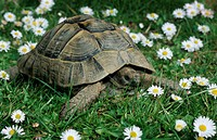 Spur-thighed, Tortoise, Testudo, graeca, africa, other, animals, turtles, reptiles