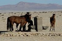 Wildhorses, Namib, Naukluft, Park, Namibia