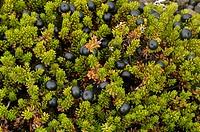 Crowberries, Iceland, Empetrum, nigrum