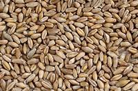 Triticale, grains, corn, composite, of, Rye, and, Wheat