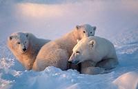 Ursus maritimus. Polar bear with cubs. Churchill. Canada.