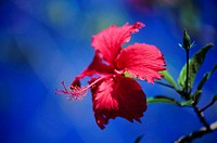 Close-up of red hibiscus with blue sky in background (thumbnail)