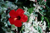 Close-up of red hibiscus among green and white leaves