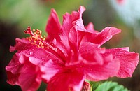Closeup of pink double hibiscus (thumbnail)