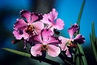 Close-up of a branch of pink orchids