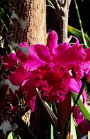 Close-up of pink cattleya orchids against a tree trunk and green leaves