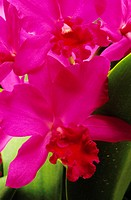 Close-up of pink cattleya orchids with green leaves