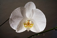 Hawaii, close-up of white phalaenopsis orchid, wet with dewdrops, studio shot on gray background
