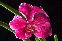 Hawaii, close-up of red spotted orchid with green leaves, studio shot on black background (thumbnail)