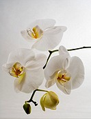 Hawaii, sprig of phalaenopsis orchids, studio shot on white background