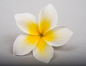 Studio shot of yellow plumeria on white background