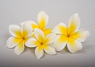 Studio shot of yellow plumerias on white background