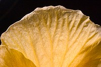 Closeup abstract view of yellow hibiscus flower petal, black background (thumbnail)