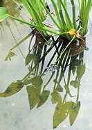 Aquatic plant
