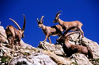 France, Savoie (73), ibexes in the Beaufortain massif