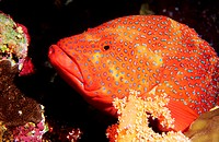 Egypt, Red Sea, red grouper