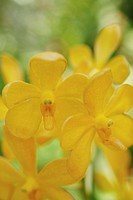Close up of Yellow Orchid flowers