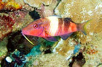 Red Goatfish, (Parupeneus multifasciatus), taken in Whaler's cove in Kauai, Hawaii