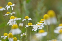 Chamomile, close-up