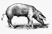 Domestic pig. Antique drawing, ca. 1900.