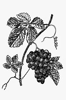 Grapes. Antique drawing, ca. 1900.