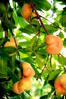 Peaches on tree. Peach variety 'Saturn peach', sometimes called donut peaches