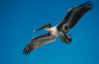 Brown Pelican in flight (Pelecanus occidentalis). Sanibel Island, Florida, USA