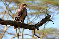 africa, kenya, lake nakuru national park, predator
