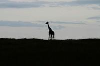 africa, kenya, giraffe, sunset