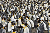King Penguins Socializing