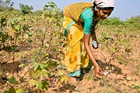 A woman picking up cotton in a field outside the town of Nagarjuna Sagar in Andhra Pradesh