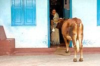 A woman feeding a cow on the threshold of her house in Kochi. Kerala
