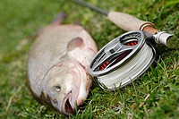 Close-up of a fish beside a fishing reel and a fishing rod