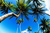 Low angle view of tall palm trees, Trinidad