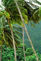 View of palm trees on a windy day with dense forest in the background, Trinidad