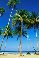 Tall palm trees are seen on Maracas Beach, Trinidad, Caribbean