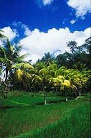 Palm trees in a field, Bali, Indonesia