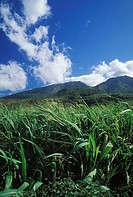 Crops growing in a field, Hawaii, USA