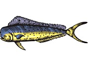 A drawing of a mahi mahi (thumbnail)