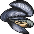 An illustration of blue mussels