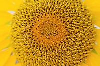 Sunflower (Helianthus annuus), close-up
