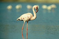 Birds , Lesser Flamingo Phoenicopterus minor Geoffrey