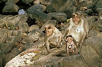 Bonnet Macaque Monkey and Baby , Mudumalai sanctuary , Tamilnadu , India