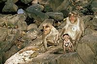 Bonnet Macaque Monkey and Baby , Mudumalai sanctuary , Tamilnadu , India
