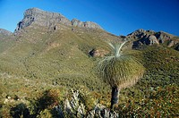 Grass tree Kingia australis amongst wildflowers at Bluff Knoll, Stirling Range National Park, Western Australia