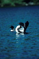 Pair of common loons in water, North America