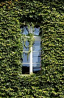 Window, and, Boston, Ivy, Luneburg, Lower, Saxony, Germany, Parthenocissus, spec., Japanese, Creeper
