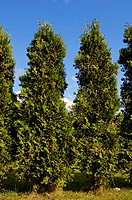 Cedars, Thuja, spec.